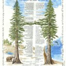 Redwood Trees Ketubah